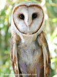 Owl by LilyanneBoleyn