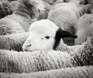 The black ear lamb by Antoine-G