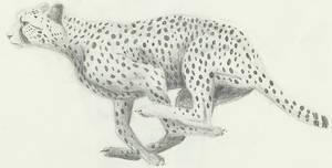Cheetah Sketch