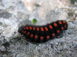 Serious Caterpillar