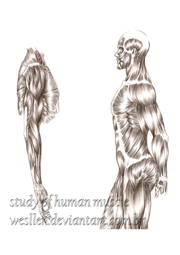 study of human muscle by wesllen on deviantart, Muscles