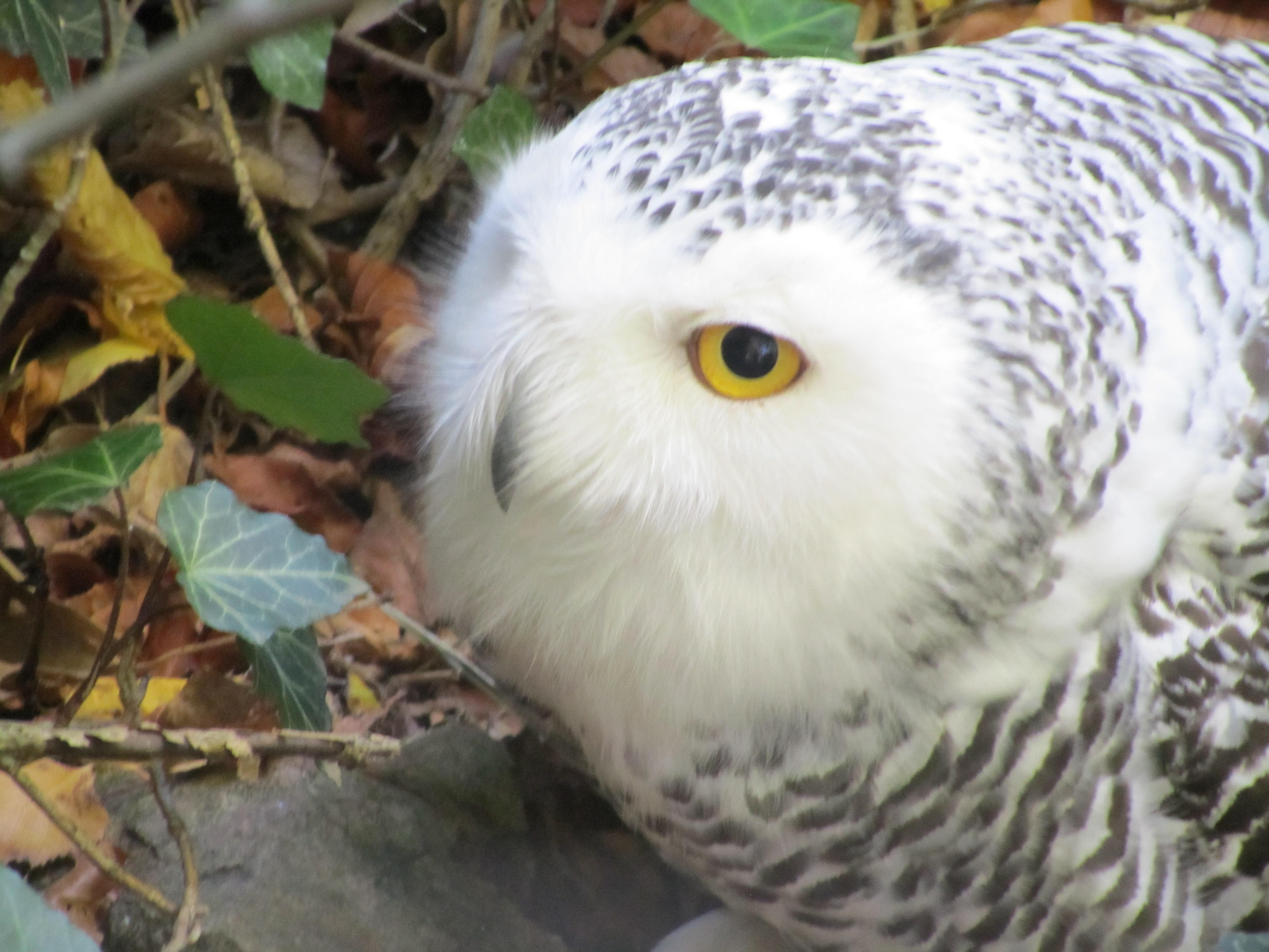 GERMAN SNOWY OWL by CHRISwillar