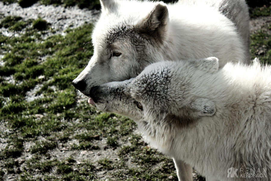White Wolf And Black Wolf In Love White Wolf Love | www....