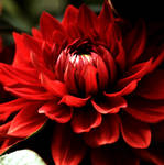 Red Chrysantheme
