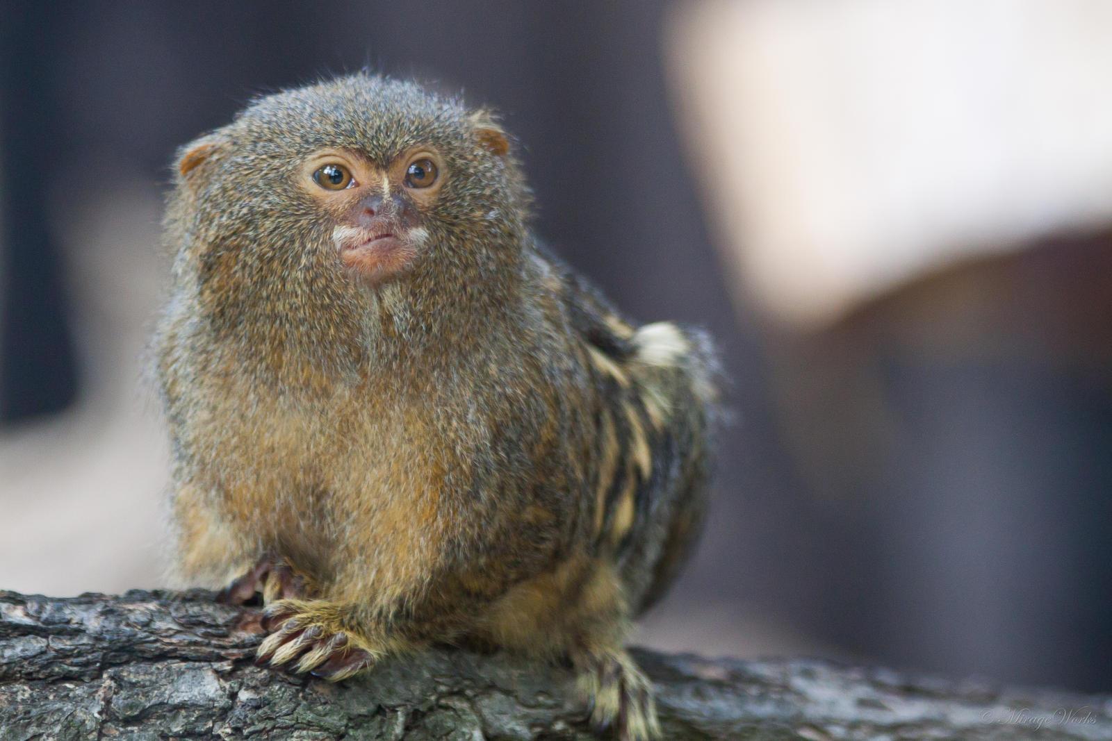 how to draw a pygmy marmoset