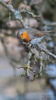 Little Robin (European Robin)
