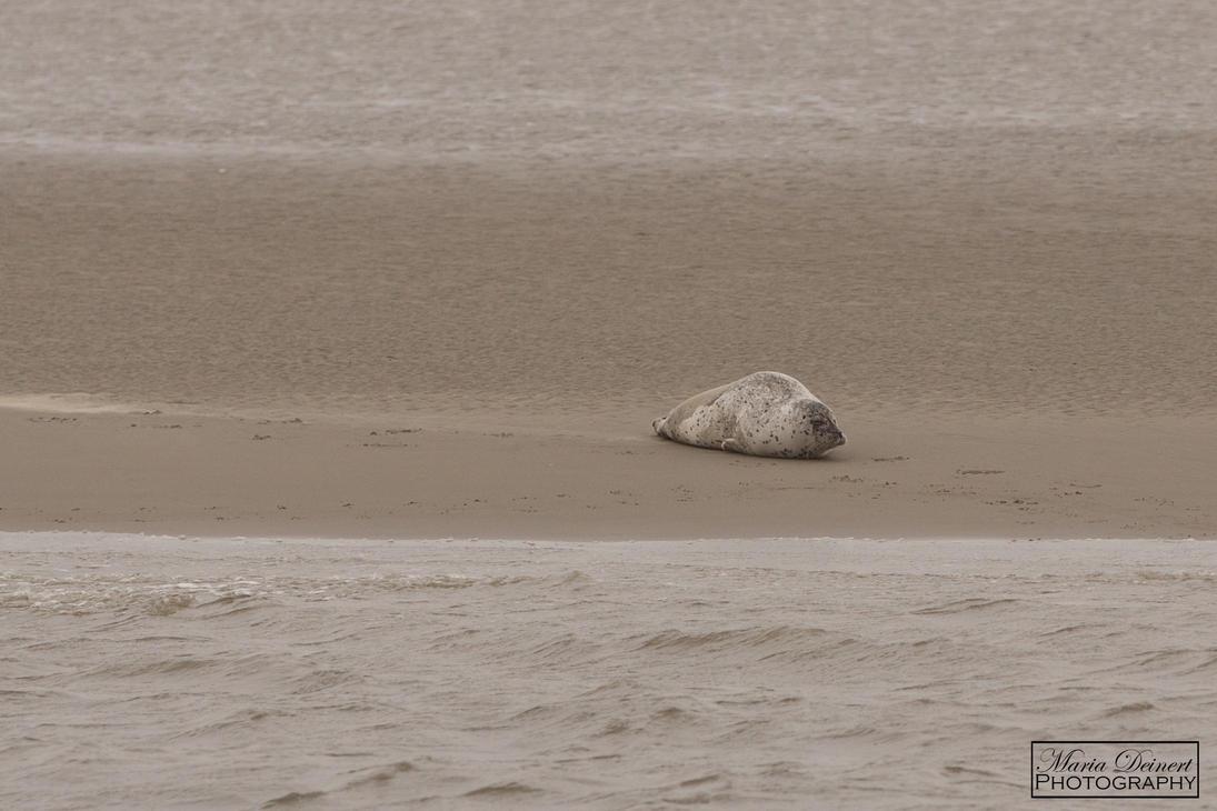 Harbor Seal by MariaDeinert