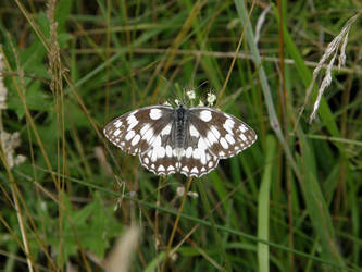 Marbled White by PennPoint