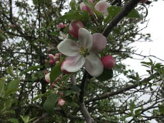 apple blossom 1 by LasagnaTheTrashcan