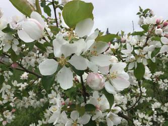 apple blossom 2 by LasagnaTheTrashcan