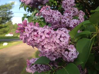 Lilac by LasagnaTheTrashcan