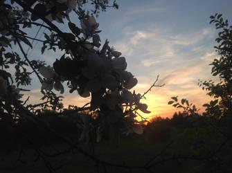 Apple flower sunset by LasagnaTheTrashcan