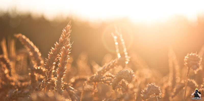 Cornfield in the morning by womble-photography