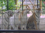 Tigers Two
