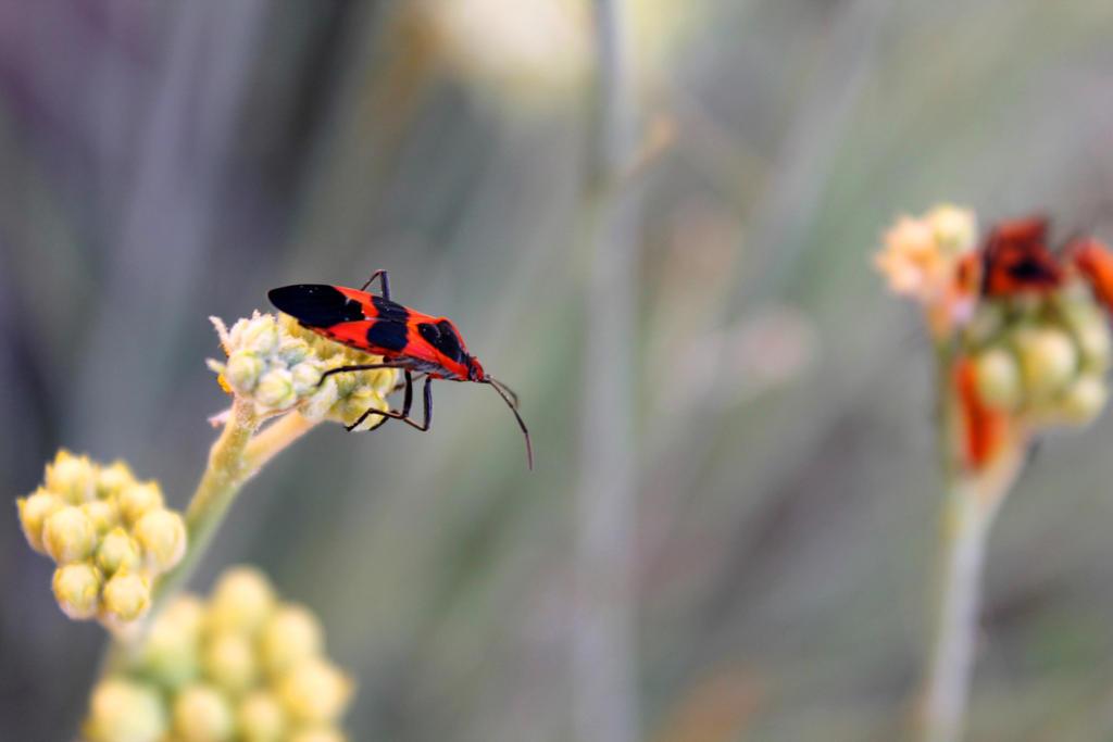 Milkweed Bug by Monkeystyle3000