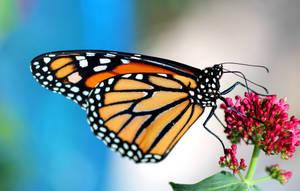 Monarch Butterfly 2 by Monkeystyle3000