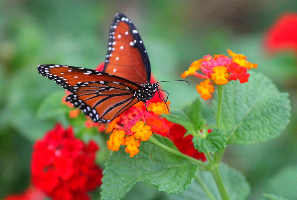 Queen on Lantana by Monkeystyle3000