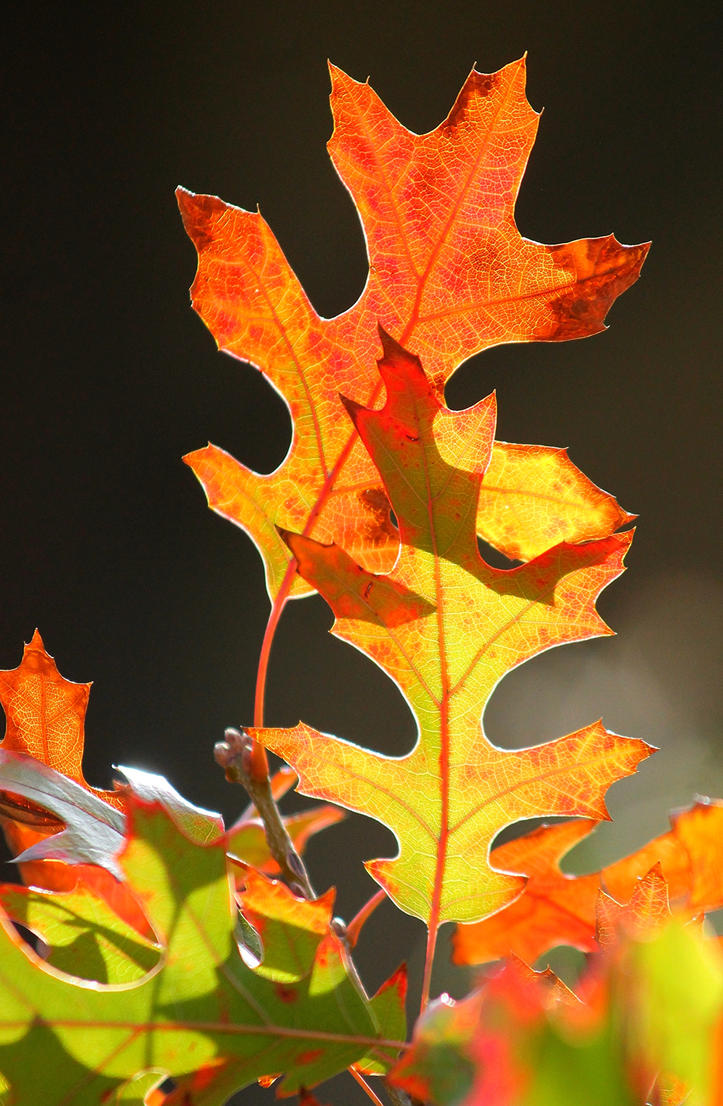 Fall Oak Leaves by Monkeystyle3000