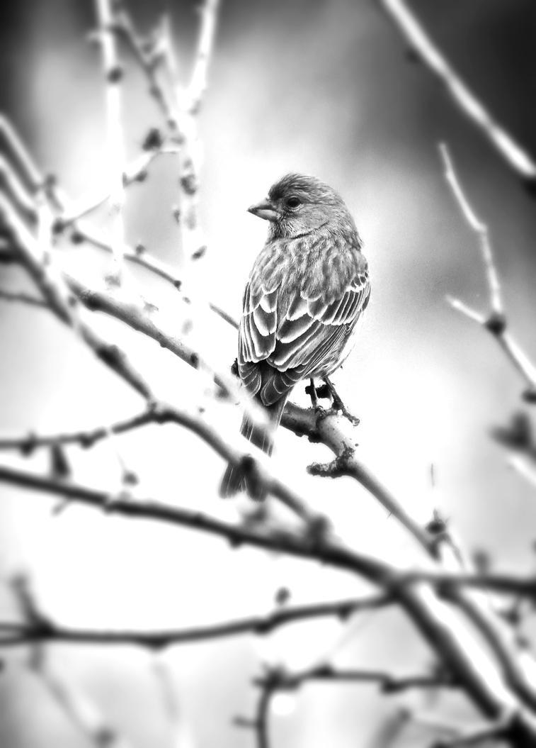 Finch in Contrast by Monkeystyle3000