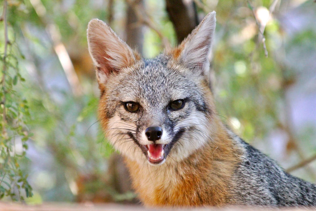 Gray Fox Vixen by Monkeystyle3000