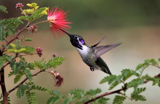 Hummingbird with Fairyduster