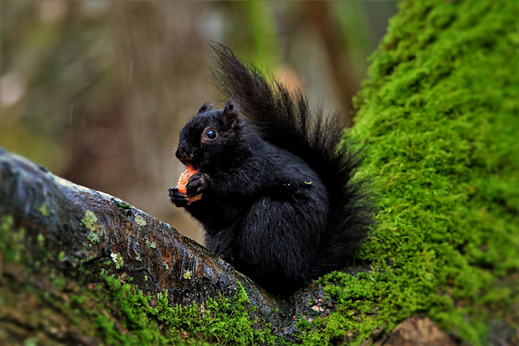 Black Squirrel by Monkeystyle3000