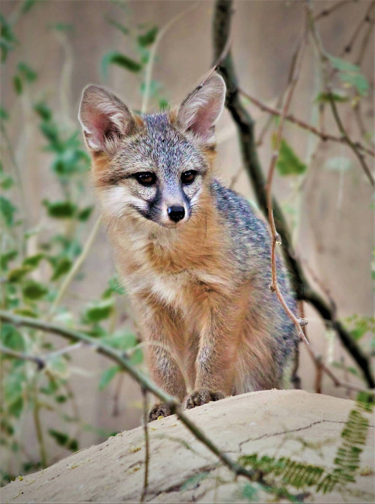Juvenile gray fox by Monkeystyle3000