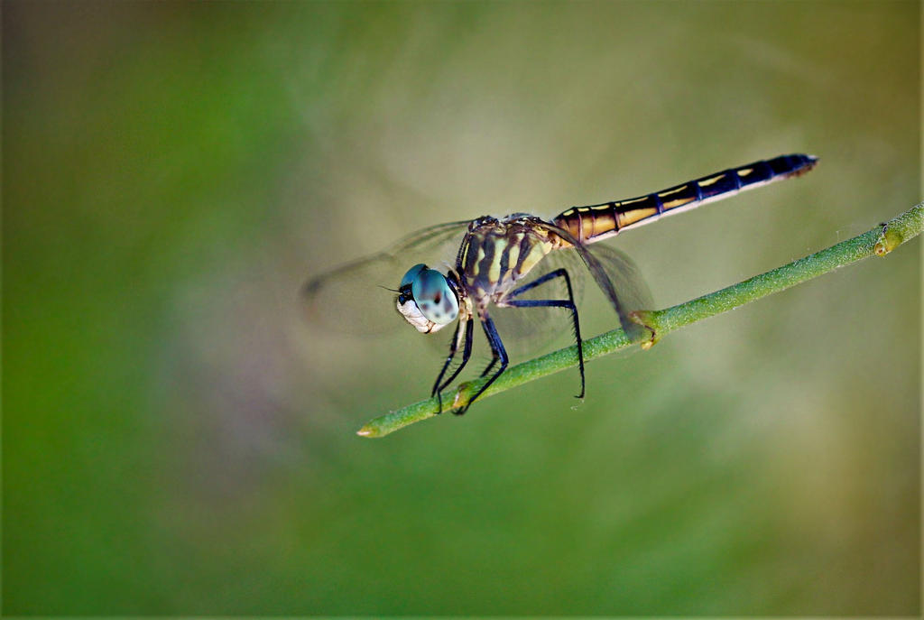 Blue Dasher Dragonfly 2 by Monkeystyle3000