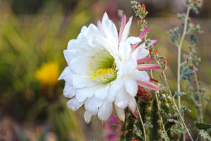 Argentine cactus bloom by Monkeystyle3000