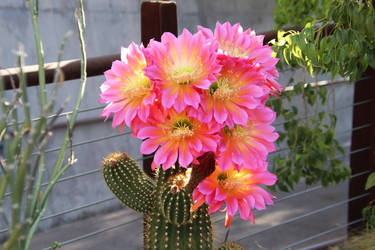 Pink echinopsis super bloom by Monkeystyle3000