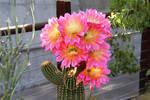 Pink echinopsis super bloom by Monkeystyle3000