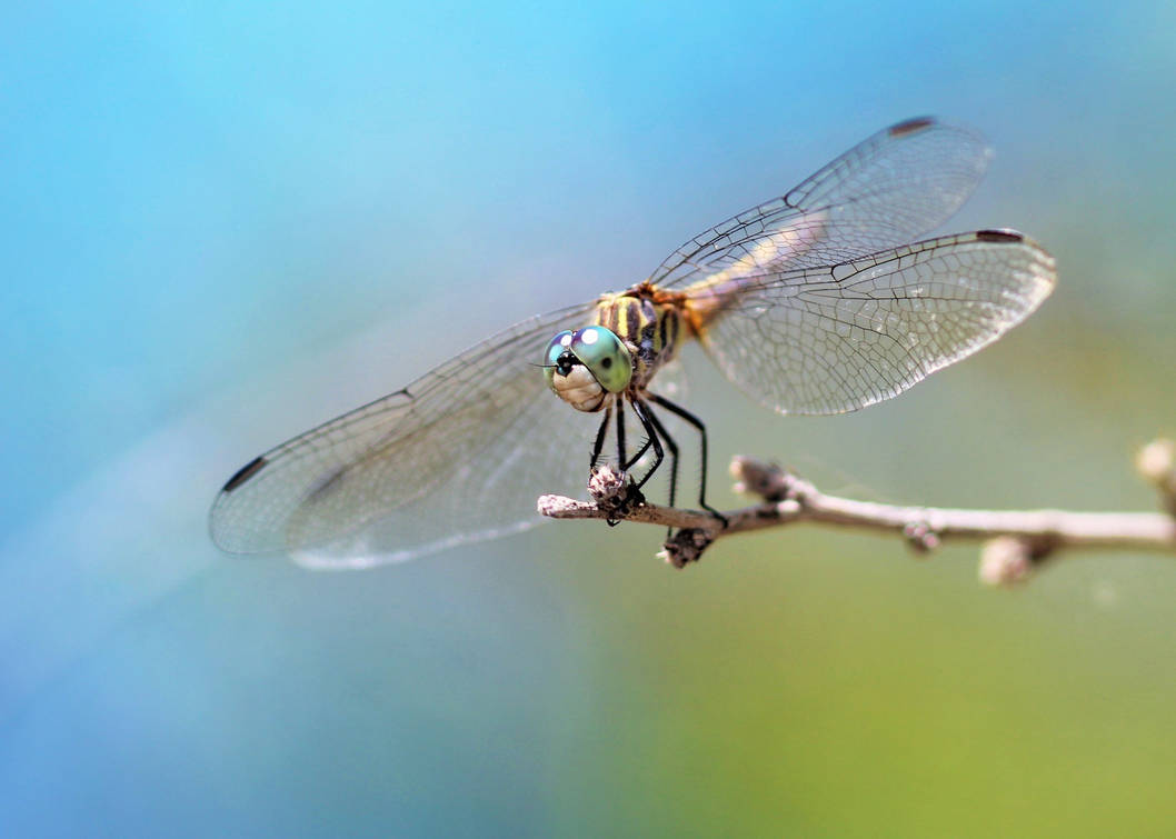 Cool blue dasher