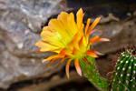 Golden echinopsis bloom