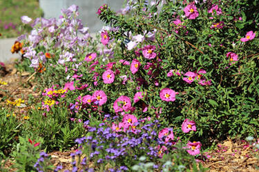 Rock roses and evening primroses and more