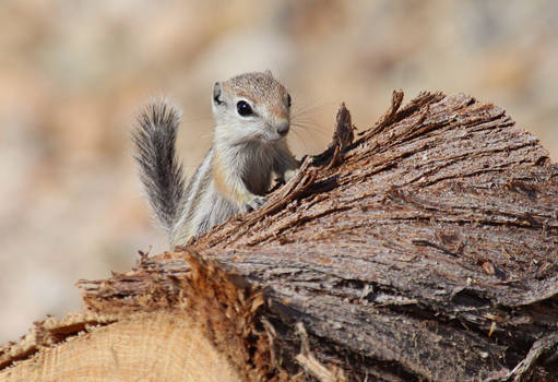 Baby antelope squirrel