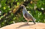 Gambels quail