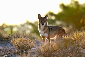 Coyote morning