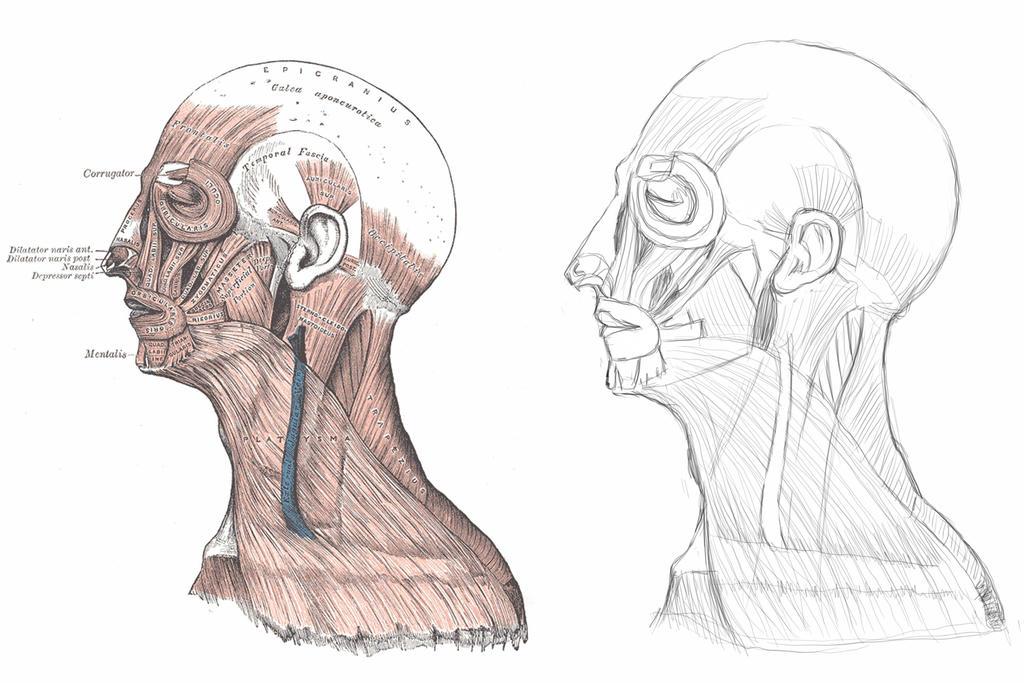 Human Anatomy - Head Profile Muscles by Yacek7812 on DeviantArt