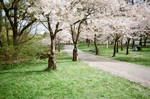 Cherry Trees in High Park