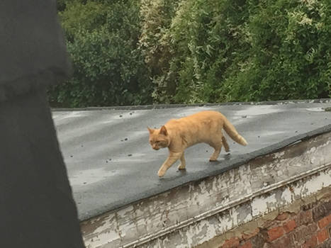 Cat on a Wet Shale Roof