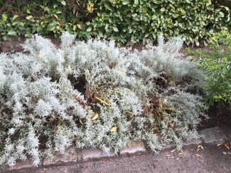 Silver ferns by MissIzzy