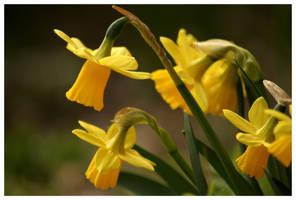 Mini daffodils by kamuidestiny