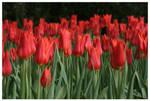 Red Tulip Sea