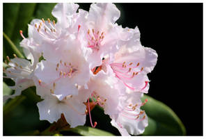 Azaleas by kamuidestiny