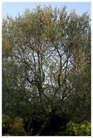 Olive Tree by kamuidestiny
