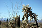 Cacti by kamuidestiny