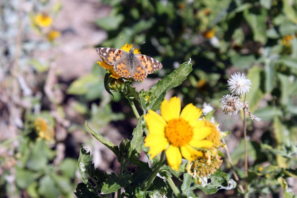 Desert Butterfly by kamuidestiny