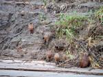 Capybaras by kamuidestiny