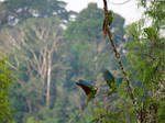 Amazonian parakeets by kamuidestiny