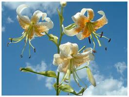 Sky Lillies by kamuidestiny